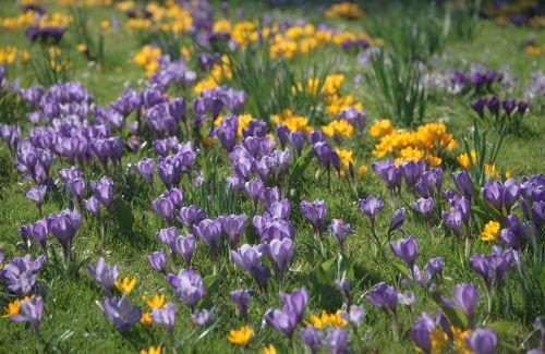 crocus spring blossom