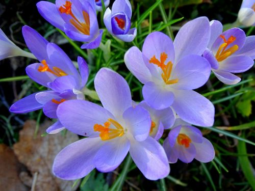 crocus spring frühlingsblüher