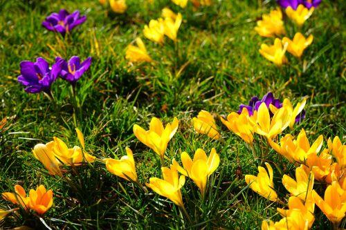 crocus yellow violet