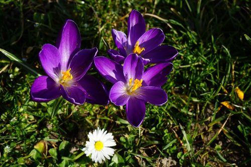 crocus violet flower
