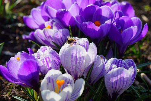 crocus violet white