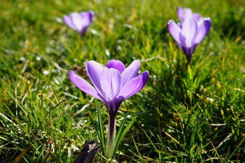 crocus flowers plant