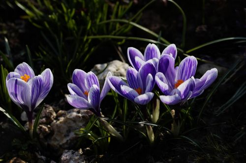 crocus purple spring flower