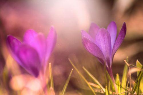 crocus nature flower
