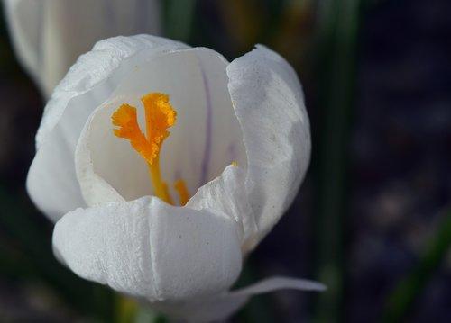 crocus  white  blossom