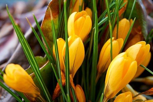 crocus  yellow  flower