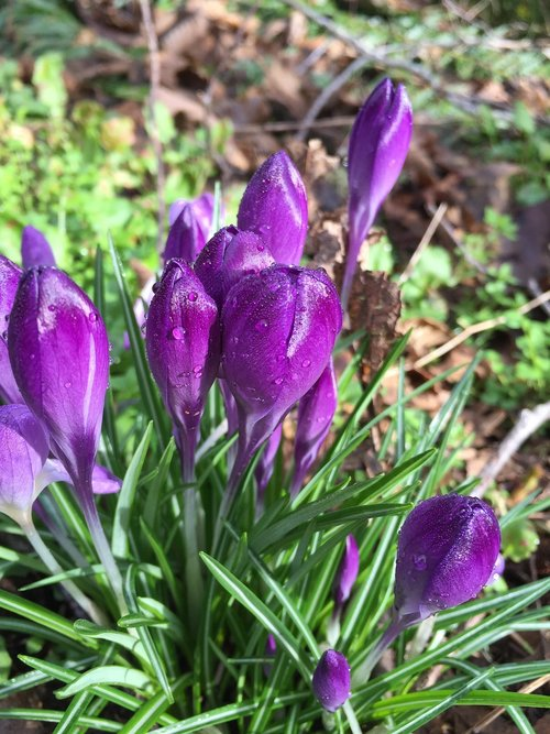 Crocus, gėlė, violetinė, BUD, pavasaris, pobūdį, augalų, gėlių, Sodas, šviežias, violetinė gėlė, violetinės gėlės, sezonas, Violetinė, spalva, natūralus, spalvinga, vainiklapis
