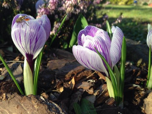 crocus early bloomer insect