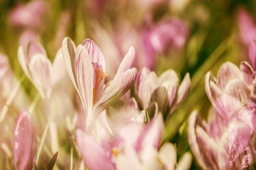 crocus  double exposure  flowers