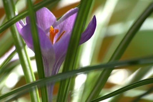 crocus  early bloomer  spring