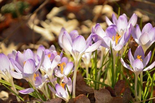 crocus  flower meadow  early bloomer