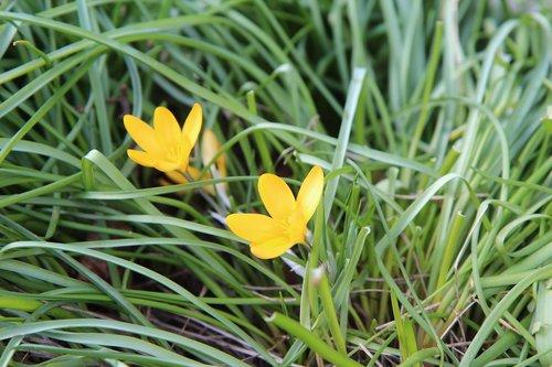 crocus  crocus yellow  flower