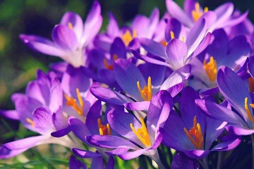 crocus  spring flower  plant