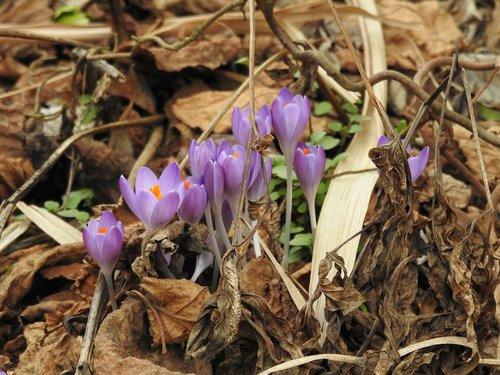 crocus  violet  tender