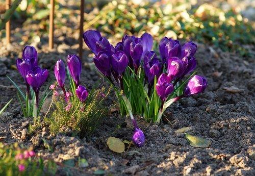 crocus  purple  spring