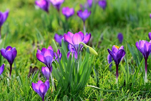 crocus  spring flower  blossom