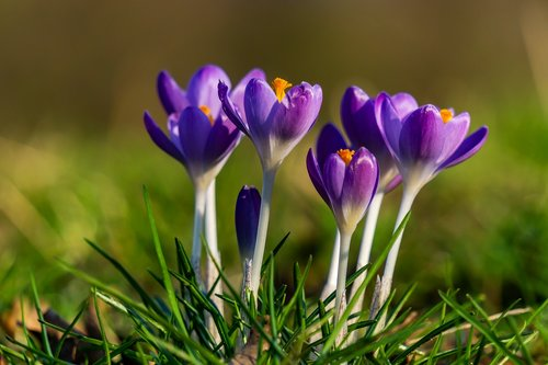 crocus  spring  nature