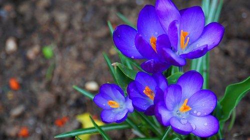 crocus  flowers  spring