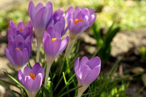 crocus  spring flowers  violet