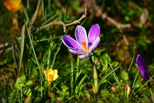 crocus  spring flower  petal