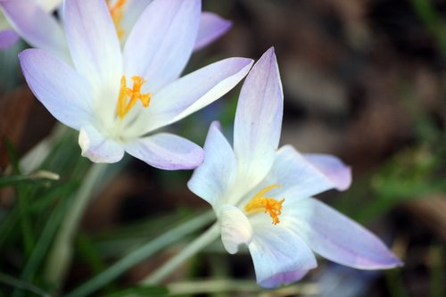 crocus  flowers  frühlingsanfang