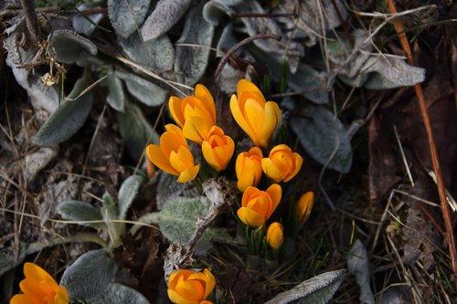 crocus  saffron  flower