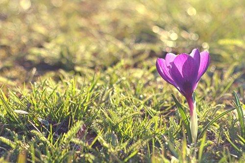 crocus  flower  flower bulbs