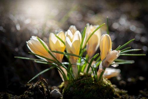 crocus  yellow  flowers