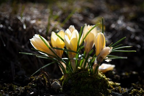 crocus  yellow  spring