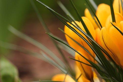 crocus  frühlingsblüher  spring