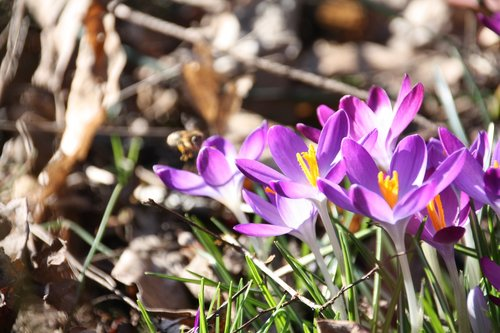 crocus  purple  forest