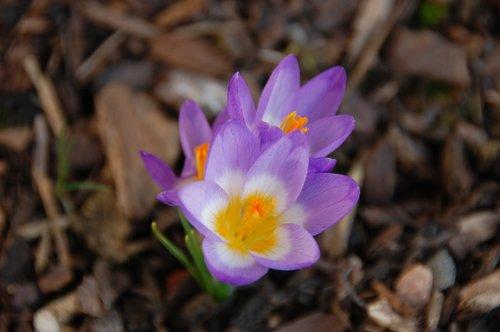 crocus  spring  trio