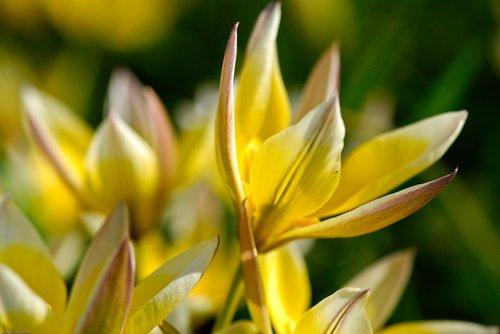 crocus  flowers  flower