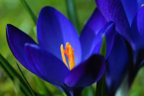 crocus blossom bloom