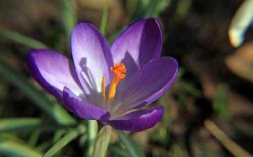 crocus purple macro