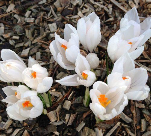 crocus white flowers
