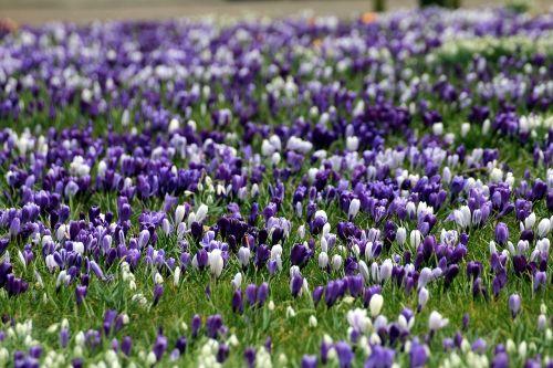 Crocus,violetinė,geltona,gėlės,pavasaris,iridaceae,gamta,augalas