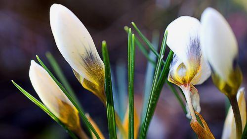 crocus crocus flower white