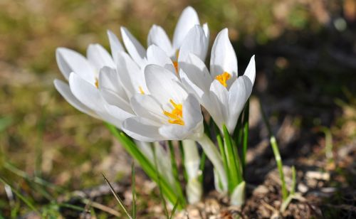 crocus pointed flower spring flower