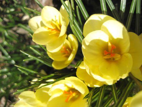 Crocus, pavasaris, gėlė, geltona, augti, dygsta, šiltas, saulėtas, augalas, žemė, Crocus Pocus