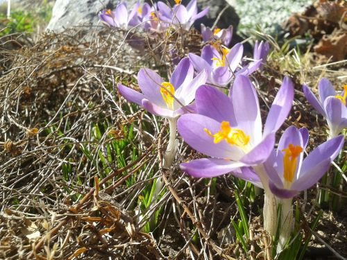 crocuses spring sun