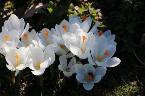 crocuses white spring