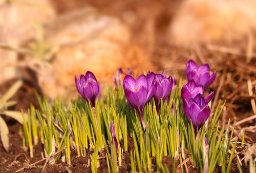 crocuses  flowers  spring