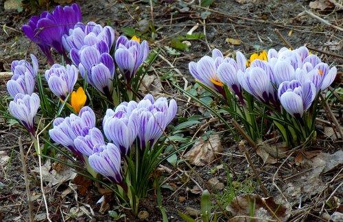 crocuses  flower  nature