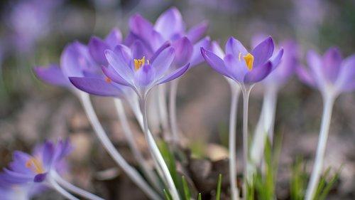 crocuses  crocus  spring