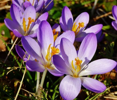 crocuses flowers purple