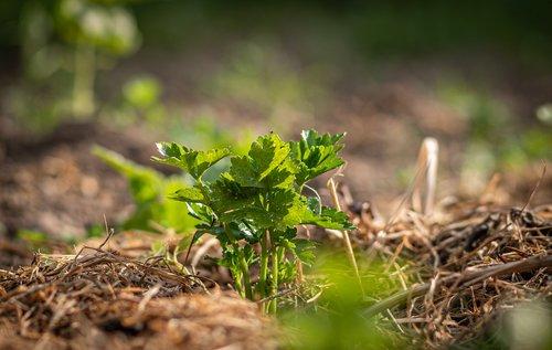crop  celery  field