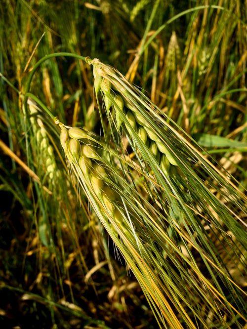 crops wheat barley