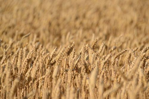 crops field wheat