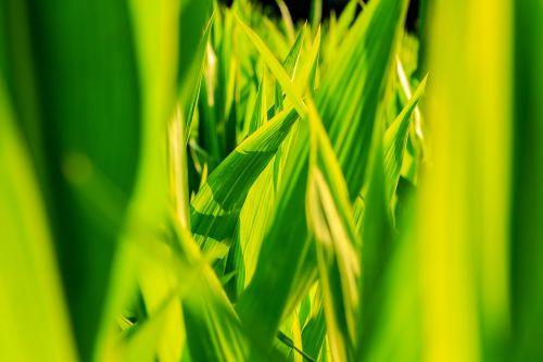 crops corn closeup